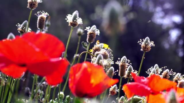 Poppy field details - Plantago ovata and poppies. video