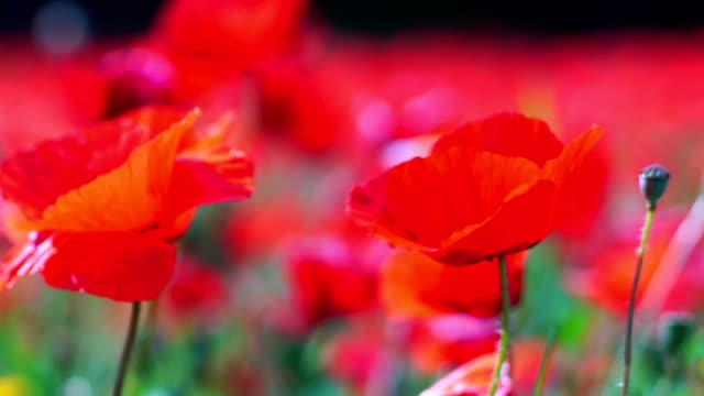 Poppy field details video