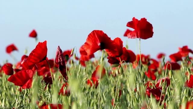 vidéos et rushes de poppy champ de l'été - première guerre mondiale