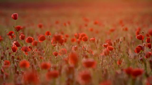 Poppy field in sunset video