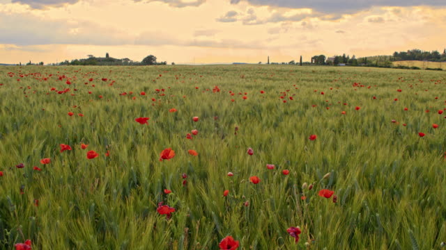 DS Poppy field in Tuscan countryside video