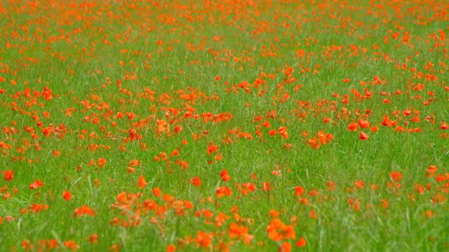 Ein Mohnfeld schwankt in der Sommerbrise – Video