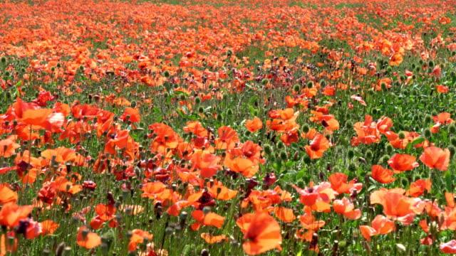 vídeos y material grabado en eventos de stock de campo de amapolas - flor silvestre