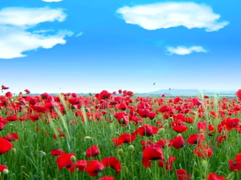 poppy field - {{searchview.contributor.websiteurl}} stock videos & royalty-free footage
