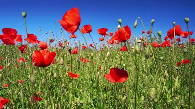 Poppy field with blue sky and gentle breeze