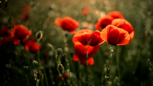 Poppy flower in field Beautiful red poppies moving at tender spring wind memorial day stock videos & royalty-free footage