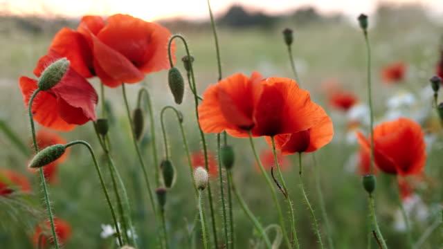 Poppy flower - zoom in video