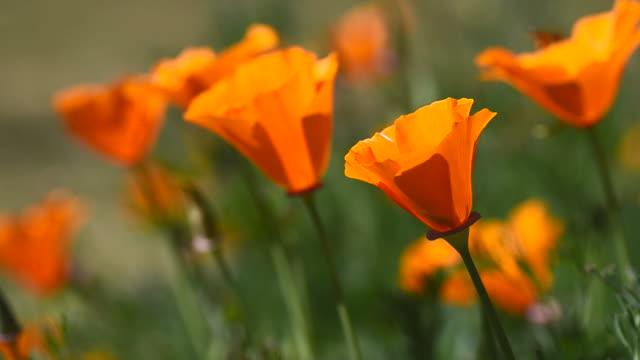 vídeos y material grabado en eventos de stock de poppy flowers y abeja - amapola planta