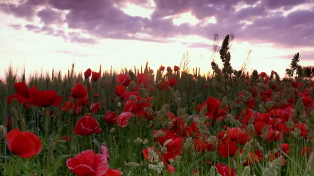 Poppy Flowers At Sunrise video