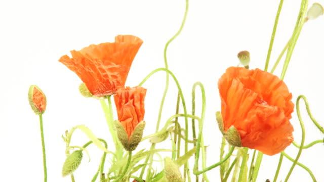 Poppy flowers growing video
