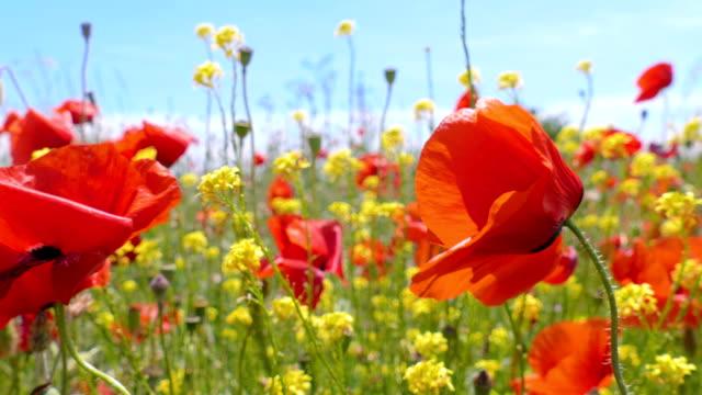 Poppy flowers on green meadow video