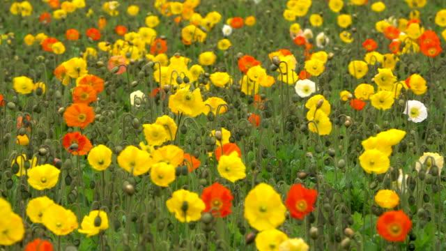 vídeos de stock e filmes b-roll de poppy flowers swinging in wind - granadilha