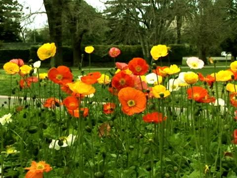 fiori di papavero  - parte della pianta video stock e b–roll