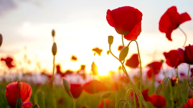 CU DS Poppy Flowers HD1080p: CLOSE UP DOLLY shot of red poppy flowers in the late afternoon sun. Also available in 4K resolution. Shot RAW. summer background stock videos & royalty-free footage