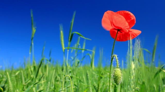 Poppy on green field video