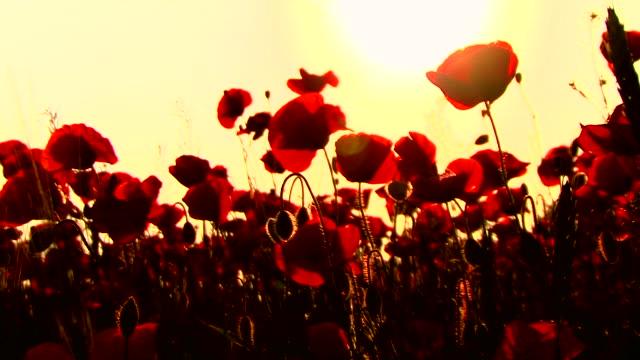 vídeos y material grabado en eventos de stock de poppys en puesta de sol - amapola planta