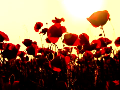 poppys in sunset - {{searchview.contributor.websiteurl}} stock videos & royalty-free footage