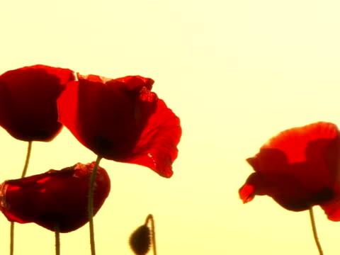 poppys - {{searchview.contributor.websiteurl}} stock videos & royalty-free footage