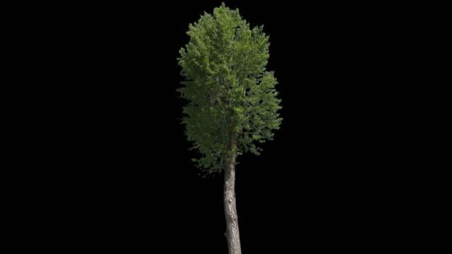 populus nigra isolated tree - куст стоковые видео и кадры b-roll