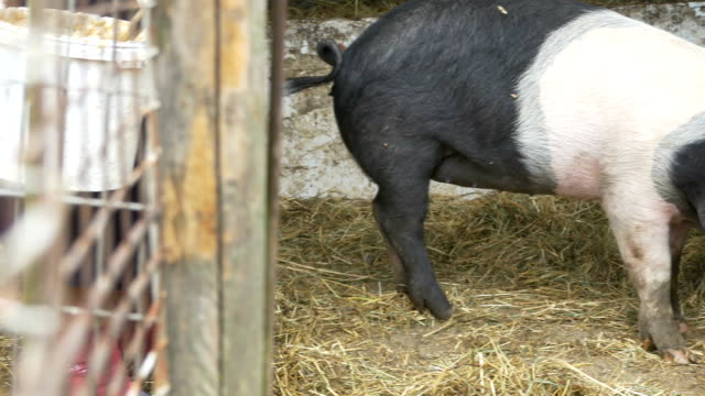 vídeos de stock, filmes e b-roll de alimentação ecológica de carne de porco - ave doméstica