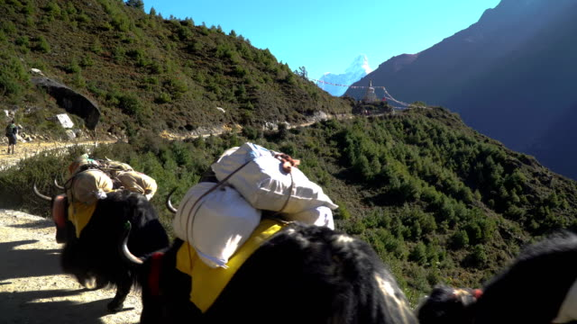 Porters and yaks on the trail in the Himalayas video