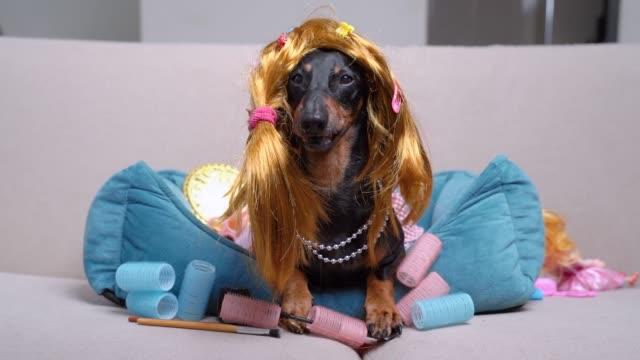 portre sevimli dachshund köpek, siyah ve tan, komik bir kırmızı peruk, saç tokaları, ve pembe bir elbise, kadın kozmetik ve curlers arasında evde bir kanepede yatıyor, dudaklarını yalar.  yavaş çekim - peruk stok videoları ve detay görüntü çekimi