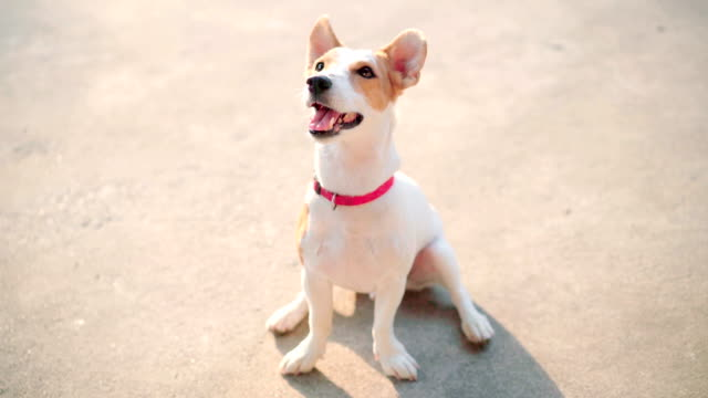 portrait fullbody jack russell terrier dog curiosity looking in traning - terrier video stock e b–roll