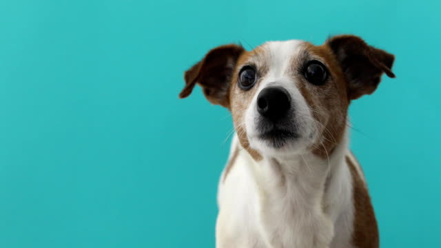 portrait nice jack russell terrier blue background - leccare video stock e b–roll