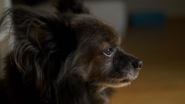 Porträt eines schönen Chihuahua-Hundes, gähnt in Zeitlupe – Video