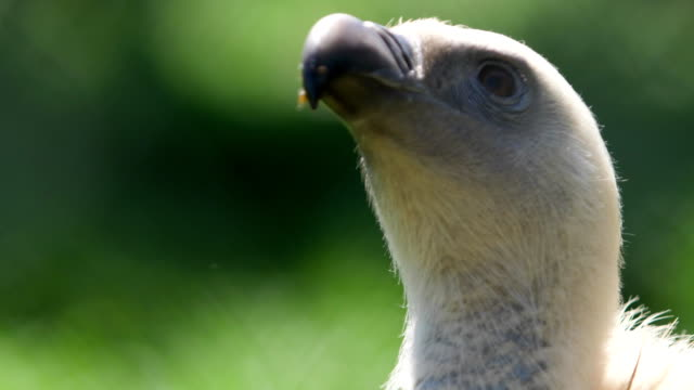 portrait of a bird of prey with a curved beak video