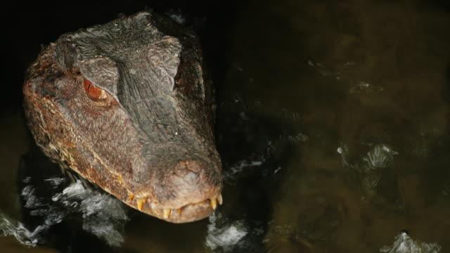 Portrait of a crocodile. Froze in water. Cuviers Dwarf Caiman video