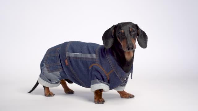 porträtt av en söt tax hund, svart och brun, klädd i en varm blå denim overaller, isolerad på grå bakgrund - byxor bildbanksvideor och videomaterial från bakom kulisserna