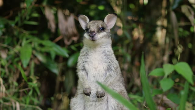 Portrait of a cute swamp wallaby curious about the camera, taken in Daintree, Queensland. Filmed on Red Camera, Slow motion.