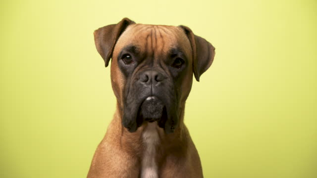 Portrait of a dog breed Boxer