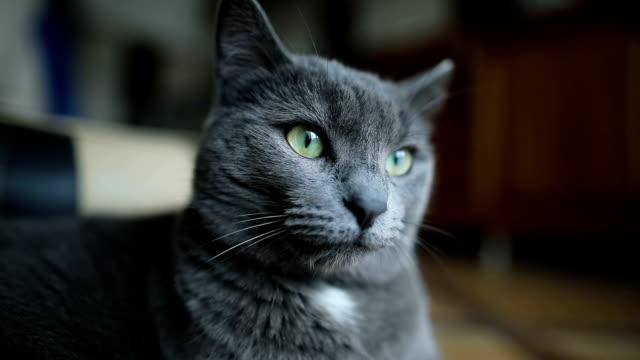 porträtt av en fluffig grå katt som ligger på golvet hemma inomhus. - katt inomhus bildbanksvideor och videomaterial från bakom kulisserna