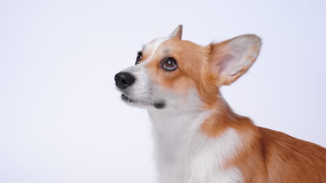 Portrait of a funny pembroke welsh corgi dog  looking at the camera with mouth open seen from the front on a white background