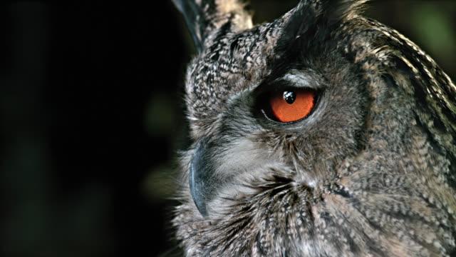 stockvideo's en b-roll-footage met slo mo portrait of a horned owl - uil