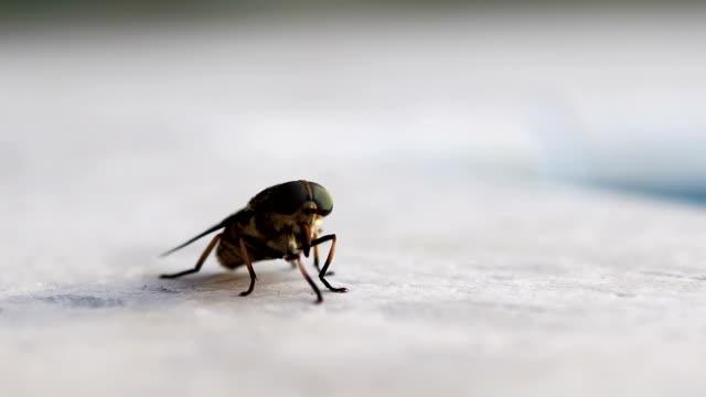 Portrait of a horse-fly macro closeup