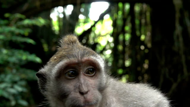 bulanik - yakın kadar odaklı ormanlarında bir bebek balinese maymun kıçlı makak portresi - makak maymunu stok videoları ve detay görüntü çekimi