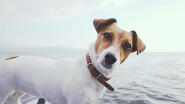 Portrait of a Jack Russell Terrier dog standing on an inflatable kayak by the sea at dawn in the light of a pink dawn. Portrait of a Jack Russell Terrier dog standing on an inflatable kayak by the sea at dawn in the light of a pink dawn. hound stock videos & royalty-free footage