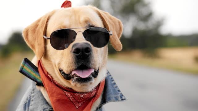 vidéos et rushes de portrait d'un chien labrador dans lunettes de soleil - moto sport