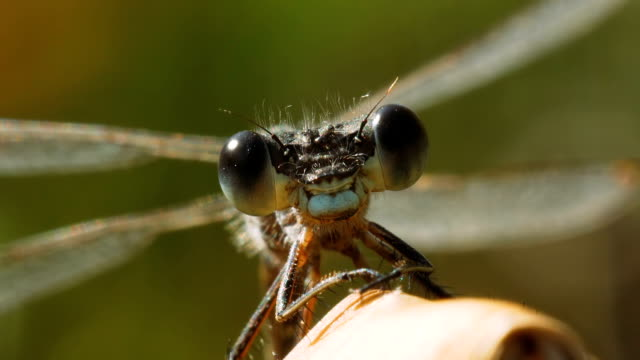 portrait of a lestes dryas dragonfly. - insetto video stock e b–roll