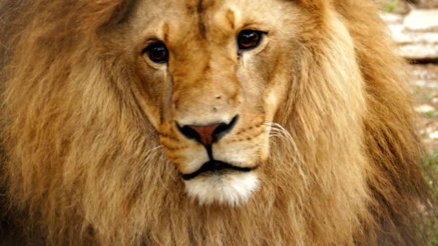 4K retrato de un León - vídeo