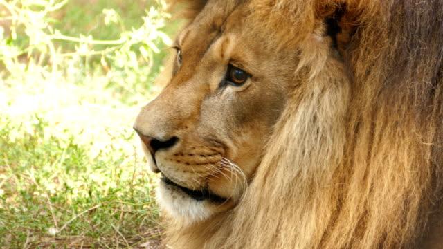 4K Portrait of a Lion video