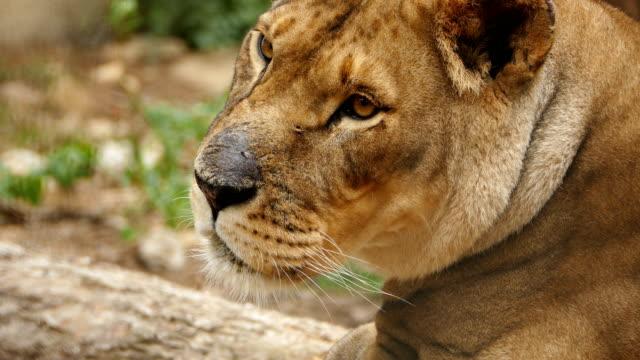 4K Portrait of a Lioness video