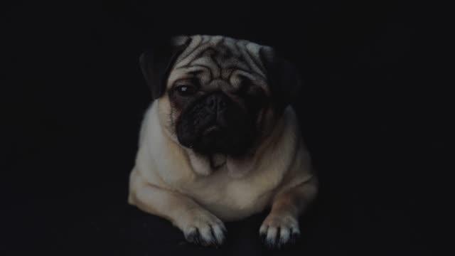 portrait of a pug dog - молодое животное стоковые видео и кадры b-roll