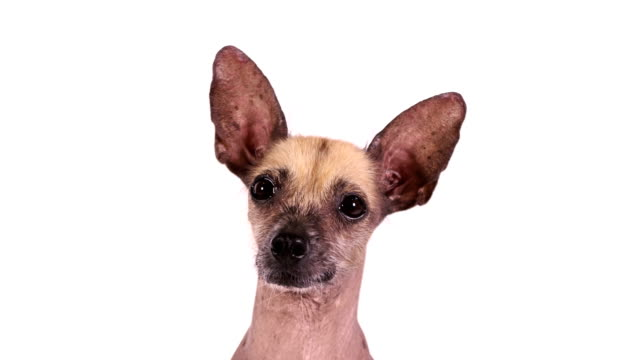 Portrait of a purebred Xoloitzcuintli dog