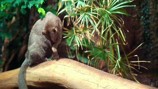Portrait of a rare and elusive Jaguarundi video