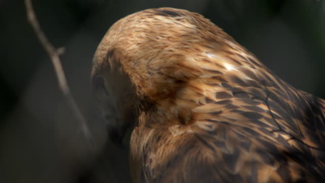 portrait of a ravenous bird in profile video