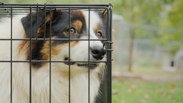 Portrait of a sad Australian Shepherd. Sits in a cage and misses Portrait of a sad Australian Shepherd. Sits in a cage and misses. 4K video homeless shelter stock videos & royalty-free footage